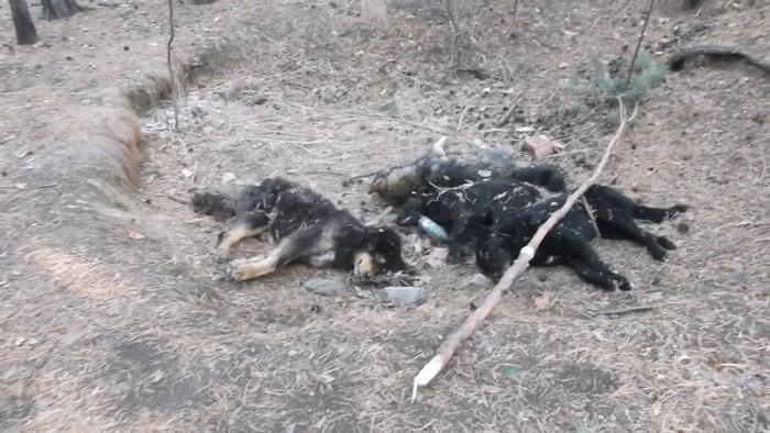 Трупы собак в Чите